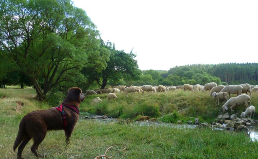 Bild von Therapie·hund Janosch bei einer Schaf·herde